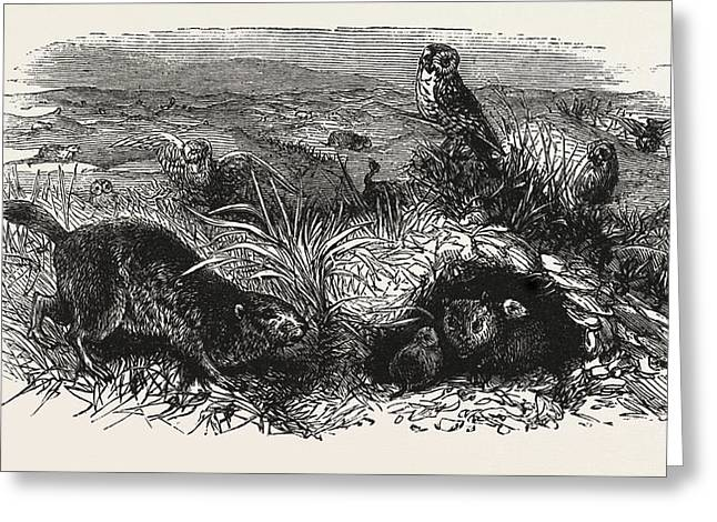 Prairie Dogs And Owls, Buenos Ayres Greeting Card by South American School