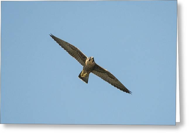 Peregrine Falcon In Flight Greeting Card by Loree Johnson