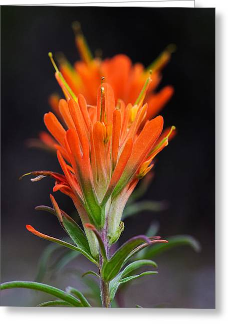 Prairie Paintbrush Flower Greeting Card