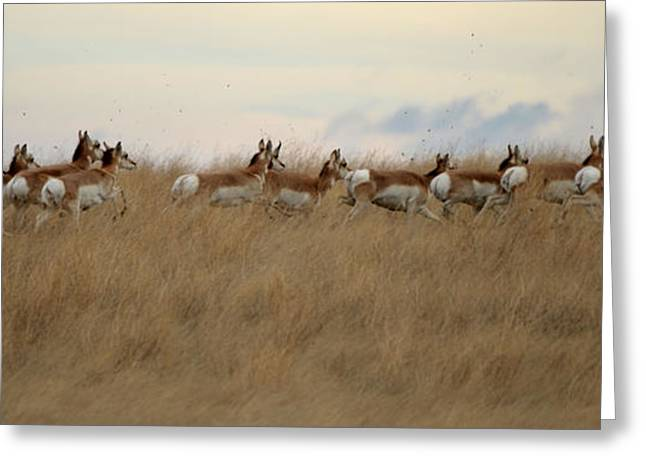 Prairie Pronghorns Greeting Card