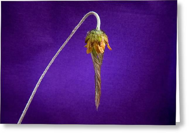 Prairie Smoke Tightly Twirled Blossom Greeting Card by Douglas Barnett