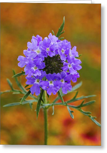 Prairie Verbena In A Firewheel Colony Greeting Card