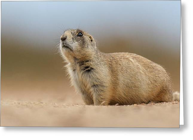 Prarie Dog  Greeting Card