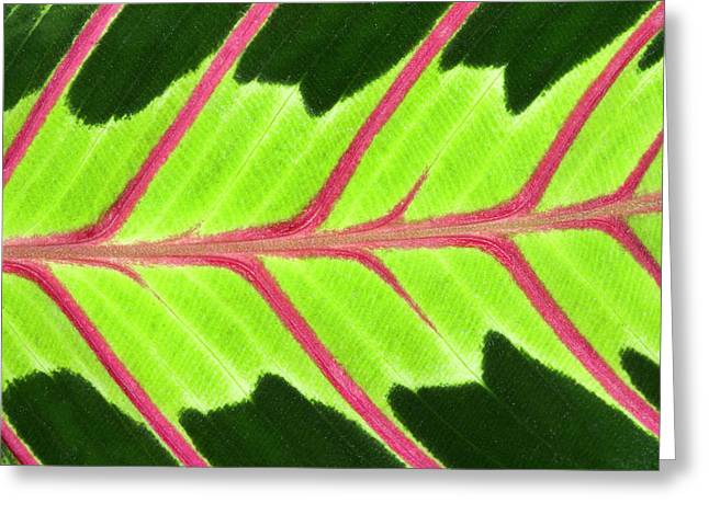 Prayer Plant Leaf Abstract Greeting Card by Nigel Downer