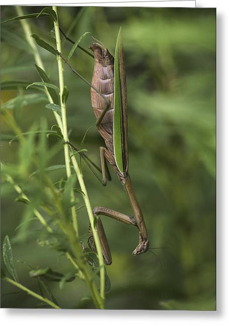 Praying Mantis 001 Greeting Card