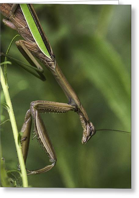 Praying Mantis 002 Greeting Card