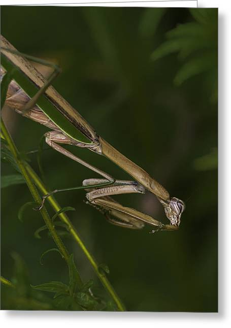 Praying Mantis 003 Greeting Card