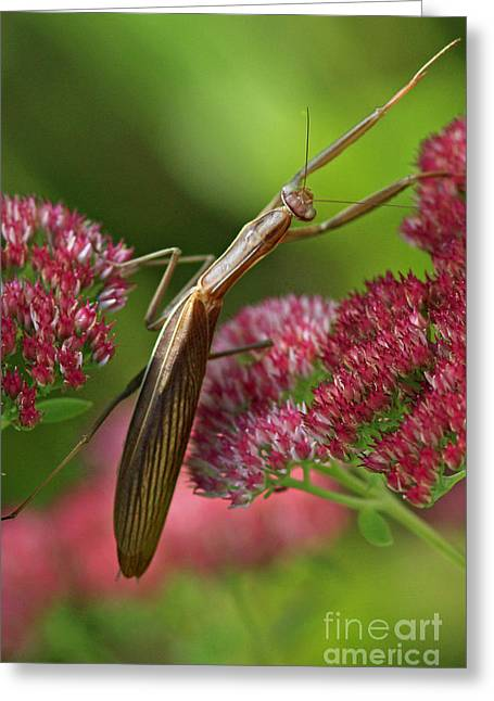 Praying Mantis Climbing Up Sedium Flower Greeting Card by Inspired Nature Photography Fine Art Photography