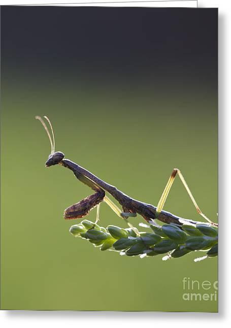 Praying Mantis Macro In The Sunlight Greeting Card