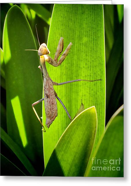 Greeting Card featuring the photograph Praying Mantis by Kasia Bitner