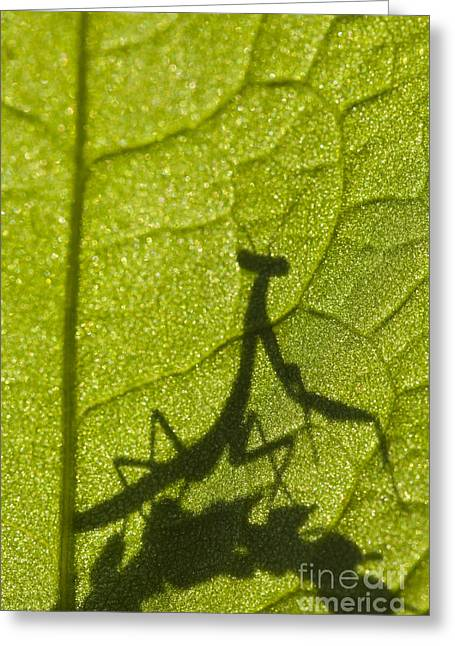 Praying Mantis Silhouette Behind A Leaf Greeting Card