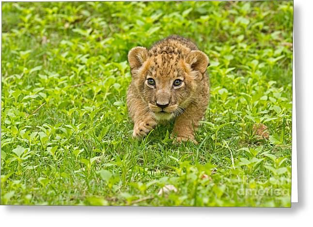 Predator In The Making Greeting Card by Ashley Vincent