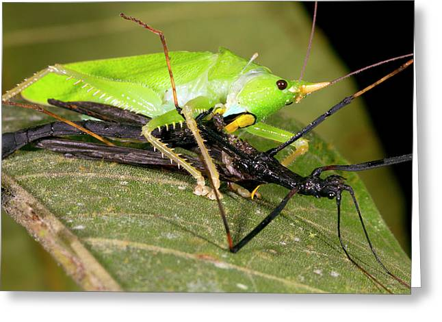 Predatory Katydid Eating A Stick Insect Greeting Card
