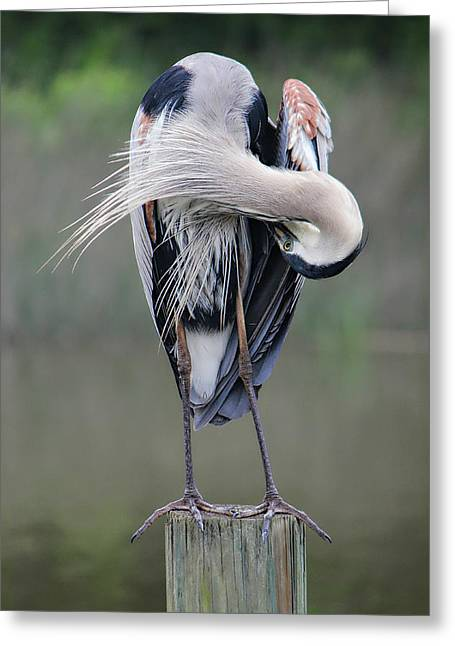 Preening Heron Greeting Card