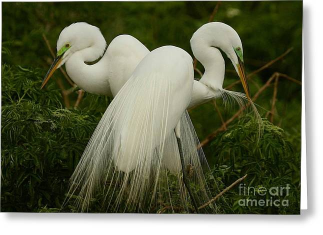 Preening Pair Greeting Card