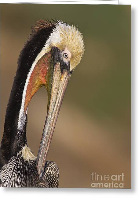 Preening Pelican Greeting Card by Bryan Keil