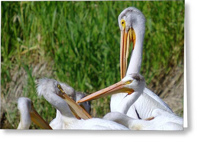 Preening Pelicans Greeting Card by Jeff Swan