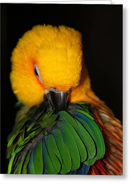 Preening Princess Jenday Conure Greeting Card by  Andrea Lazar