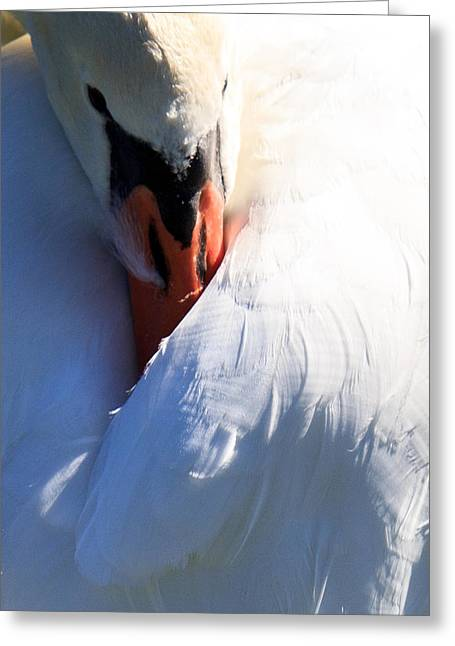 Preening Swan Greeting Card