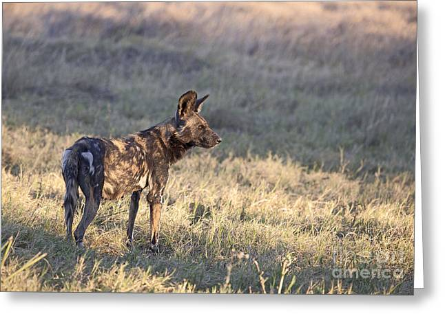 Greeting Card featuring the photograph Pregnant African Wild Dog by Liz Leyden