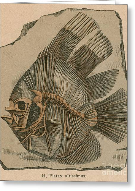 Prehistoric Fish Platax Altissimus Greeting Card by Science Source