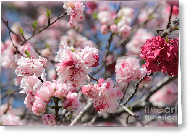 Pretty In Pink Greeting Card by Carol Groenen
