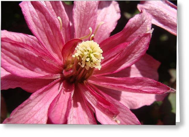 Greeting Card featuring the photograph Pretty In Pink by Cheryl Hoyle