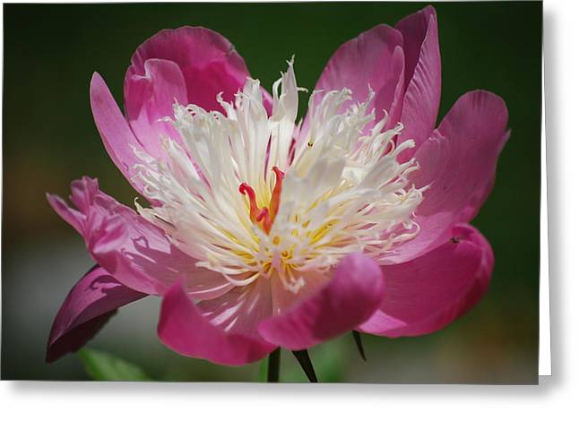 Pretty In Pink Greeting Card by Lori Tambakis