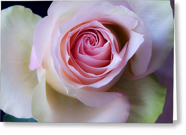 Pretty In Pink - Roses Macro Flowers Fine Art  Photography Greeting Card