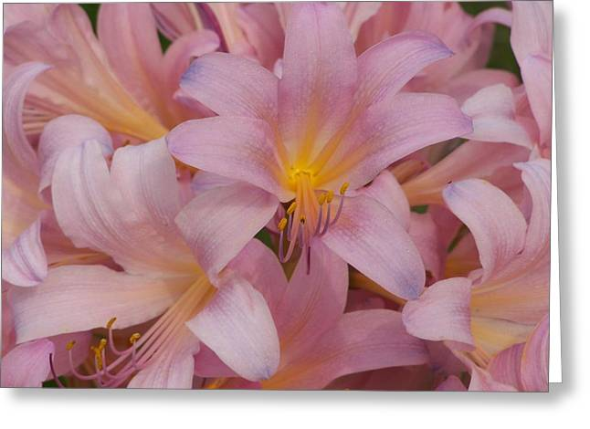 Pretty In Pink Greeting Card by Virginia Forbes