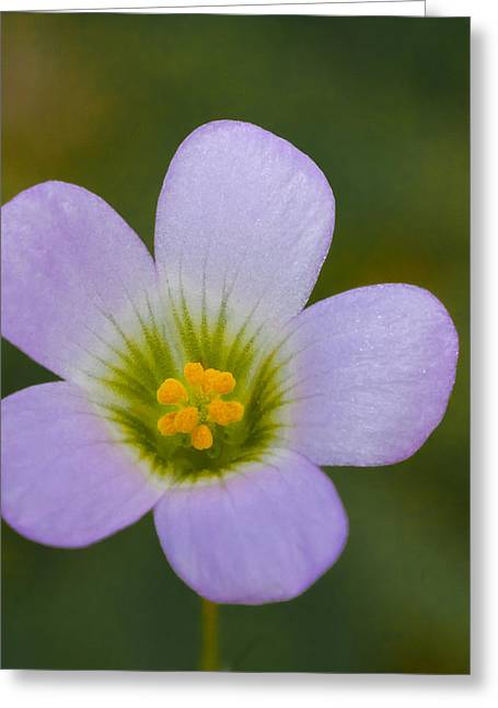 pretty little Oxalis flower Greeting Card