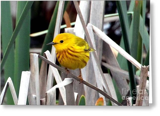 Pretty Little Yellow Warbler Greeting Card by Elizabeth Winter