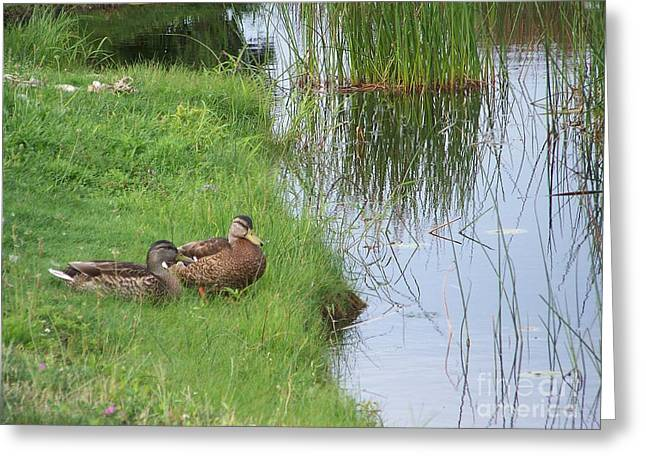 Mated Pair Of Ducks Greeting Card by Eunice Miller
