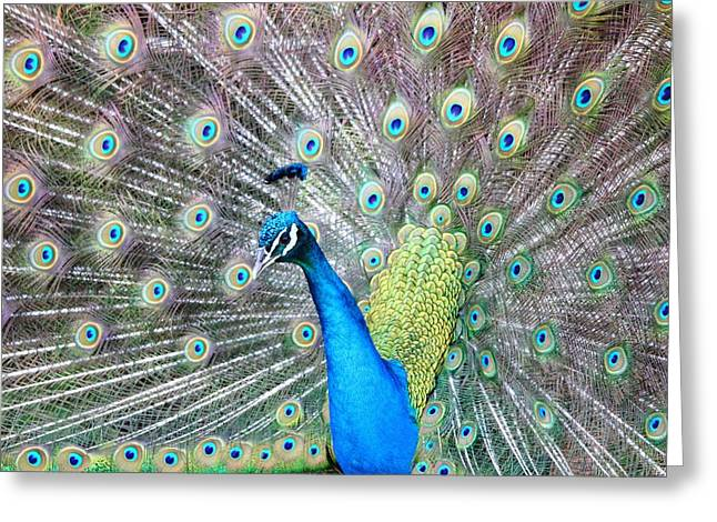 Greeting Card featuring the photograph Pretty Peacock by Elizabeth Budd