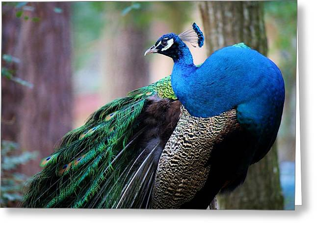 Pretty Peacock Greeting Card by Paulette Thomas