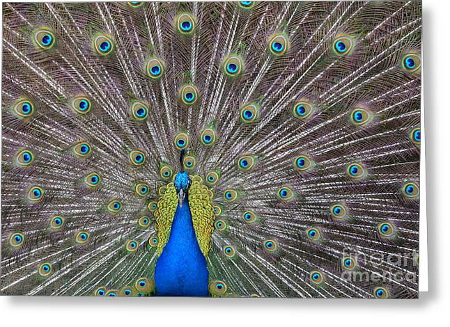Pretty Peacock Greeting Card by P S