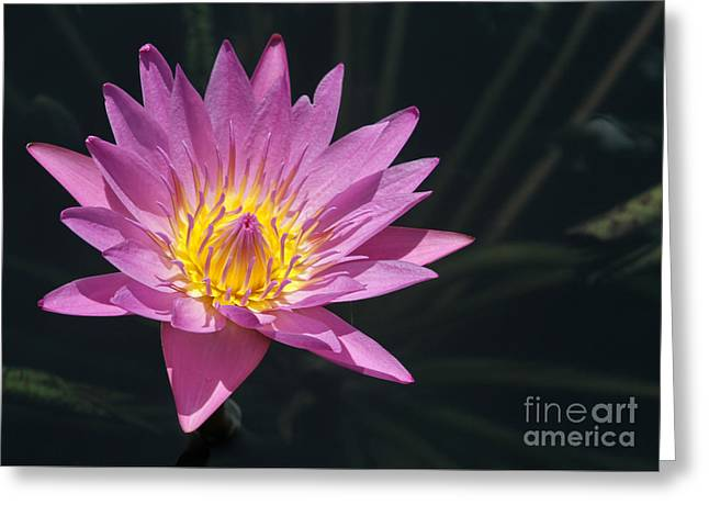 Pretty Pink And Yellow Water Lily Greeting Card by Sabrina L Ryan