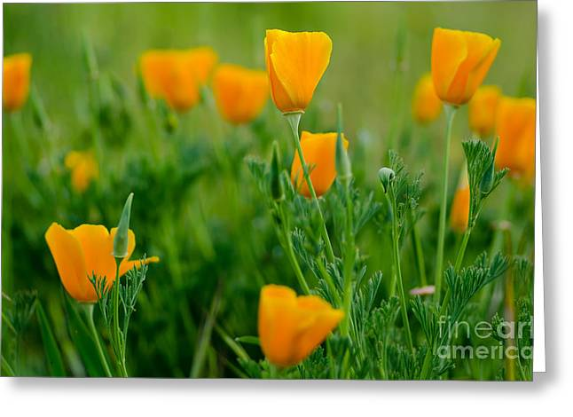 Pretty Poppies Greeting Card by Nick  Boren
