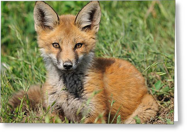 Pretty Red Fox Kit Greeting Card by Angel Cher