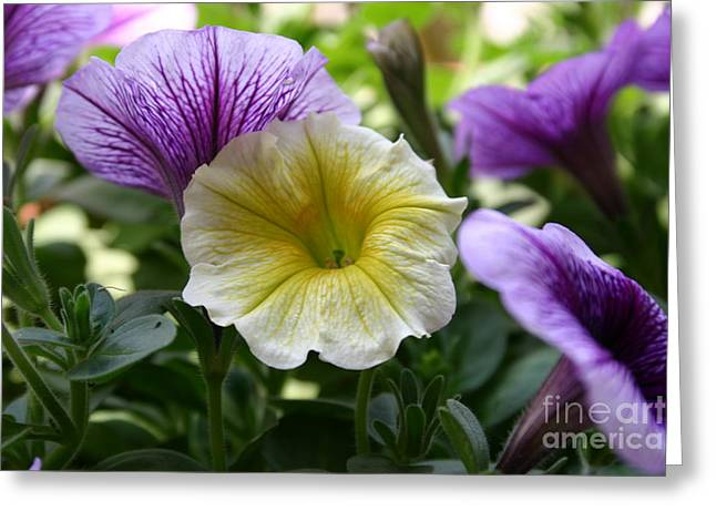 Pretty Yellow And Purple Petunias Greeting Card by D Wallace