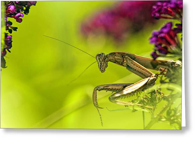 Preying Mantis Greeting Card by Geraldine Scull