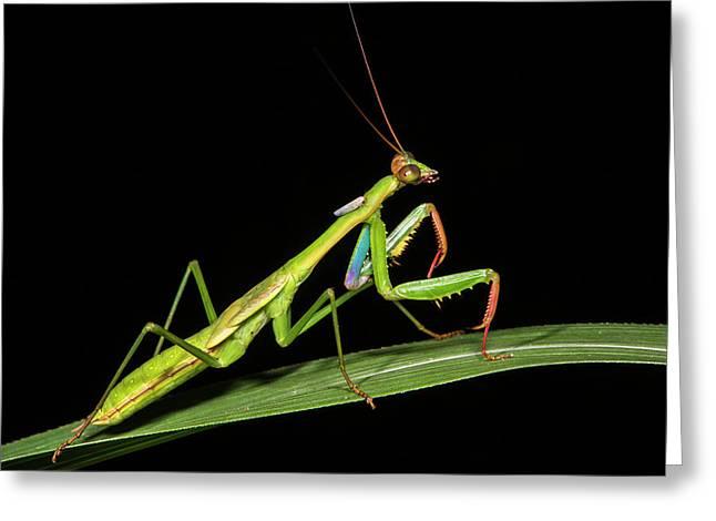 Preying Mantis, Odzala, Kokoua National Greeting Card
