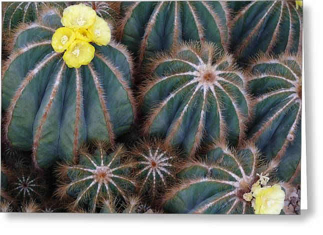 Prickly Beauties Greeting Card by Evelyn Tambour