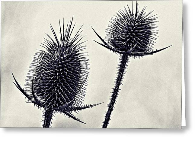 Prickly Greeting Card by John Hansen