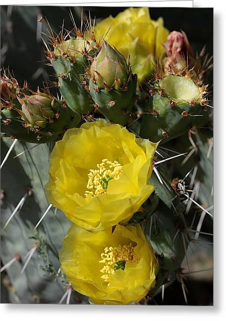 Prickly Pear Blossoms And Buds Greeting Card by Joe Kozlowski