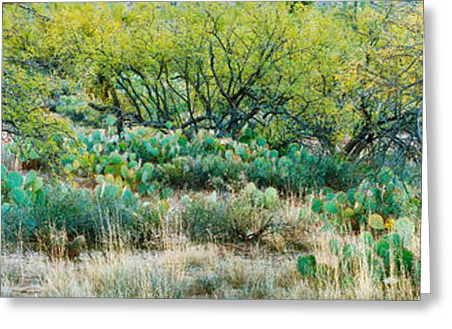 Prickly Pear Cacti Surrounds Mesquite Greeting Card