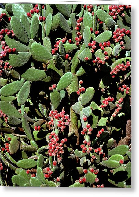 Prickly Pear Cactus Greeting Card by Dr Jeremy Burgess/science Photo Library