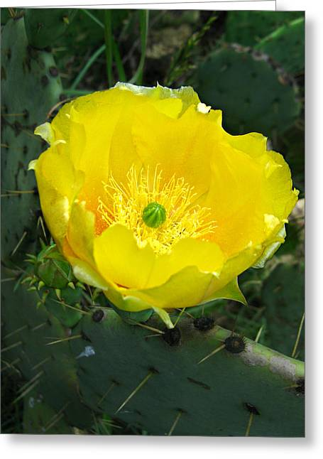 Greeting Card featuring the photograph Prickly Pear Cactus by William Tanneberger