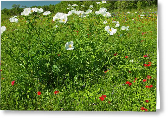 Prickly Poppy Blooming In Central Texas Greeting Card