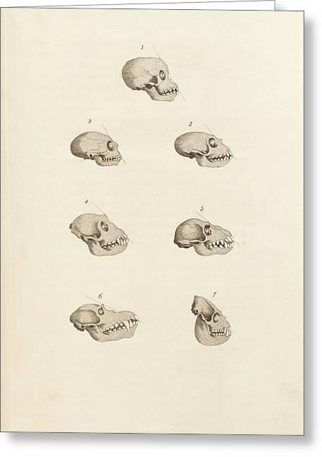 Primate Skulls Greeting Card